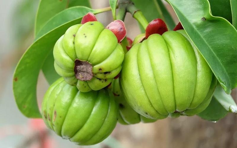 Zdravotní Výhody Garcinia cambogia